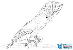 White Cockatoo Coloring Page Free Printable Coloring Pages With Galah Cockatoo Coloring Pages Bird Coloring Pages, Free Printable Coloring Pages, Coloring Books, Free Coloring, Galah Cockatoo, Pink Cockatoo, Bird Drawings, Pencil Drawings, Drawing Birds
