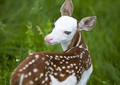 white faced deer | Rejected white-face fawn finds new life at Mich. animal farm | TBO.com ...