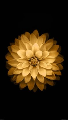 papers.co-ad39-apple-yellow-lotus-iphone6-plus-ios8-flower-4-wallpaper
