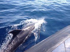 Wild Dolphins at Catalina Island