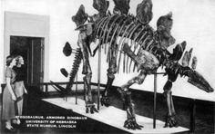 Artvue postcard of stegosaurus skeleton mount at the University of Nebraska State Museum in Lincoln, Nebraska, c. 1940s