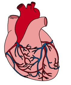 human heart clipart image anatomy pinterest human heart rh pinterest com beating human heart clipart free clipart human heart