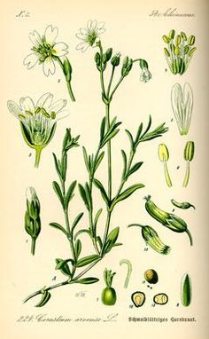 Wirtualny atlas roślin: Rogownica polna / Cerastium arvense