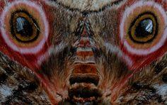 Mopane moth wings image taken in Mopani camp Worm Images, Scorpion Image, Huntsman Spider, Lion Eyes, Rhino Beetle, Dragonfly Images, Moth Wings, Jumping Spider, Moth Caterpillar