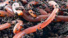 Big healthy redworms up close