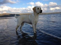 These is just something about Labradors and water!