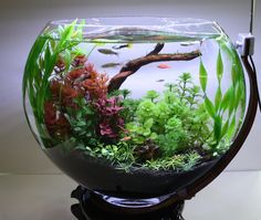 There is no fish for which this is an acceptable aquarium size, and every fish needs some sort of proper filtration system (not just an air stone), which this is not large enough to accommodate. Aquarium Garden, Aquarium Terrarium, Mini Aquarium, Garden Terrarium, Aquarium Fish Tank, Planted Aquarium, Aquarium Design, Aquarium Ideas, Bonsai