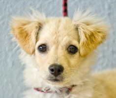 Muffy is an adoptable Terrier Dog in Tualatin, OR. I am a 4 month old female Terrier/Pom mix puppy. I was lost and my people did not come to claim me at the crowded shelter in Northern California. I h...