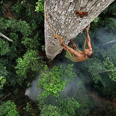 Mongonjé, a Bayaka tribesman from Africa's Congo Basin, scales a 40 metre jungle tree in search of honey.