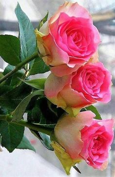 Captivating Why Rose Gardening Is So Addictive Ideas. Stupefying Why Rose Gardening Is So Addictive Ideas. Beautiful Rose Flowers, Pretty Roses, Exotic Flowers, Beautiful Flowers, Yellow Roses, Pink Roses, Pink Flowers, Flower Petals, Rosa Rose