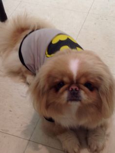 Pekingese ** Check out this information about pet dogs.