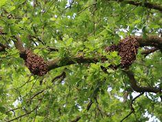 wow, bijen zijn zich aan het verzamelen in deze eik. 27/05/2016