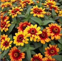 Check out the deal on Zinnia Profusion Red Yellow Bicolor 20 seeds at Hazzard's Home Gardener Shasta Daisies, Annual Flowers, Garden Seeds, Edible Garden, Zinnias, Color Of The Year, Container Plants, Flower Seeds