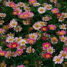 Long flowering annual-Argyranthemum