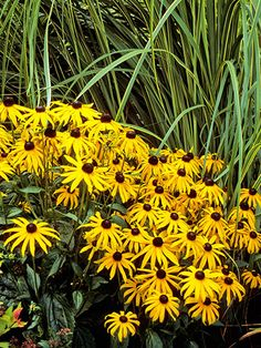"""Perennials: Black-Eyed Susan Perennials: Black-Eyed Susan  Genus: Rudbeckia fulgida var. sullivantii  Zones: 3 to 9  Cost: From $8  Expert says: """"The showiest of my self-seeding perennials, these golden daisies bloom from mid-July through mid-September and beyond."""" Cheap Garden Plants, Garden Shrubs, Easy Garden, Landscaping Plants, Outdoor Plants, Front Yard Landscaping, Succulents Garden, Planting Flowers, Landscaping Rocks"""