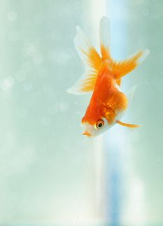 goldie I love the movement in goldfish pictures