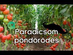 Miért pöndörödik a paradicsom levele? - YouTube The Creator, Youtube, Youtubers, Youtube Movies