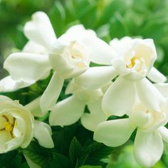 Among the most famous fragrances in the garden world, gardenias bear a heavy scent and lovely white flowers: http://www.bhg.com/gardening/design/styles/fragrant-plant-favorites/?socsrc=bhgpin032914gardenia&page=2