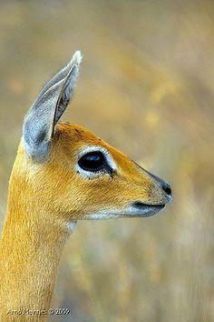 Steenbok (Raphicerus campestris) | IMG17460
