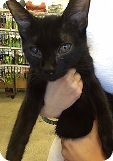 Cerritos, CA - Bombay. Meet Kelli, a kitten for adoption. http://www.adoptapet.com/pet/13736751-cerritos-california-kitten