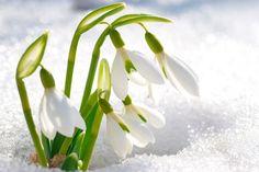 22 Best Perce Neige Images Beautiful Flowers White Flowers Flowers