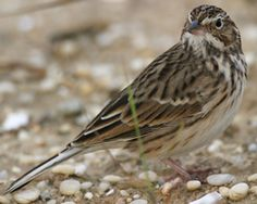 The Vesper Sparrow (Pooecetes gramineus) is a medium-sized American sparrow. It is the only member of the genus Pooecetes. Adults have light brown upperparts and light underparts, both with darker streaking. They have a white eye ring and a long dark brown tail which shows white outer feathers in flight. Their breeding habitat is open grassy areas across most of North America.