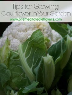 Tips for Growing Cauliflower in Your Garden, including how to start seeds, how to transplant and care for seedlings, and how harvest cauliflower.