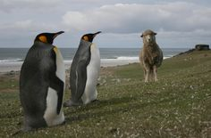 King Penguins and friend, Falkland Islands #greatwalker