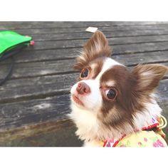 ..💜.. have a g☺︎☺︎d day 🐶🍃 #TOKYO#JAPAN#winter#dog#pet#doglover#chihuahua#ilovedog#cute#baby#travel#life#music#musician#nomusicnolife#alohappy#happy#violinist#ヴァイオリン#ヴァイオリニスト#相知明日香#日本人#世界を旅するヴァイオリニスト#旅#音楽#犬#チワワ#愛犬