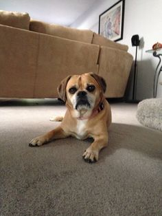 77e879bb717e7e76b9976ff5ddf9c95a furry pictures 76 best puggle dog holly furry daughter images puggle dog