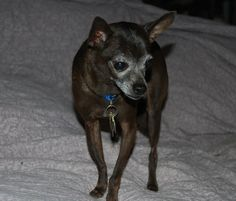 HI, I'm Sticks.  I'm a senior chihuahua that was dumped in the country  area of  Mckinney.  And I just don't understand it.  I'm a chihuahua so I'm small  and I'm a senior...who would dump a dog, any dog, in the country  anyway?I'm about 8 yrs old...