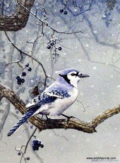 Scott Zoellick Blue Jay- Winter Blues