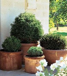 boxwoods in pots. Love this for the new patio. Maybe Ill dig up the ones in front and pot them for the back, then put topiaries out front.