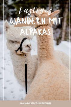 Wenn auch du eine absolut spezielle Aufmunterung suchst, können wir dir eine Wanderung mit Alpakas empfehlen. So etwas lustiges muss man fast erlebt haben. Du wirst minütlich lachen und dich freuen können.