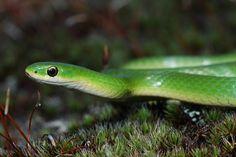 smooth green snake (Opheodrys vernalis) by antonsrkn, via Flickr