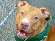 RETURN - SUPER URGENT Manhattan Center REX – A0968740 ***RETURNED 01/30/16*** NEUTERED MALE, TAN / WHITE, PIT BULL MIX, 3 yrs OWNER SUR – ONHOLDHERE, HOLD FOR ID Reason PERS PROB Intake condition EXAM REQ Intake Date 01/30/2016, From OUT OF NYC, DueOut Date 02/02/2016,