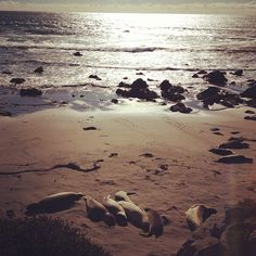 Elephant Seals at Piedras Blancas.