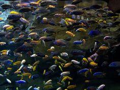 From Lake Malawi Cichlids, Tropical Fish, Aquarium, World, Water, Goldfish Bowl, Gripe Water, Aquarium Fish Tank, Exotic Fish