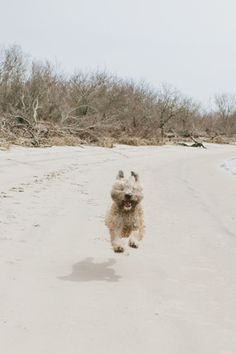 wheaten terrier, on the beach http://www.loveshackphoto.com