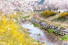 다른 지역은 벚꽃이 거의 질때... 이곳 당진은 이번주가 벚꽃이 절정을 이룬다. 화사한 벚꽃은 짧은 삶을 ...