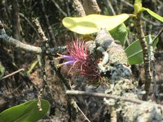 Tilladsia delicata en flor, Michoacan, Mexico