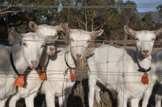 #goatvet says great advice about biosecurity and quarantine