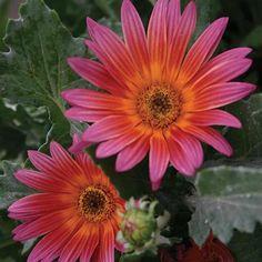 Arctotis Pink Sugar -Goods Greenhouse