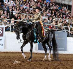 Zefyr+/ Arabian Stallion. Multiple National and Regional Western Pleasure Champion.