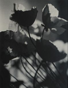 Olive Cotton (Australian, 1911-2003)  Poppies, c1939. Vintage silver gelatin photograph, 23.9 x 18.8cm. Minor foxing to margins.   Illustrated in Ennis, Olive Cotton, Art Gallery of New South Wales, 2000, p15. Provenance: Olive Cotton estate.