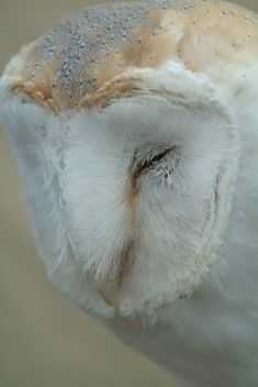 Barn Owl, via Flickr