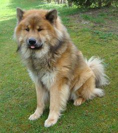Eurasier dog photo | Beautiful Eurasier Dog Photo 1391×1563 #188821 HD Wallpaper Res ...
