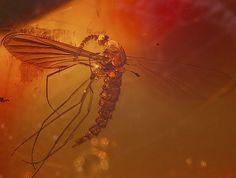 moustique, Miocène
