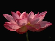 Pink lotus ~ Painting by Sue Brehant