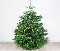 """Unser Weihnachtsbaum """"Der große Karl"""" ist mit seinen ungefähr 170 cm der Größte unter unseren Weihnachtsbäumen."""